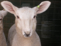 Border Leicester Pet Ram