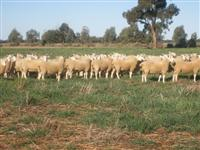 Border Leicester Sale Rams